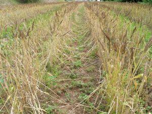 麦刈り1.jpg