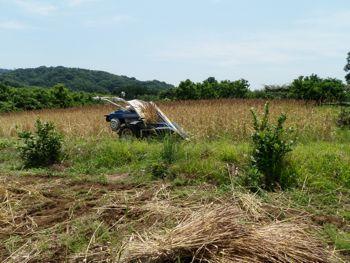 麦刈り.jpg